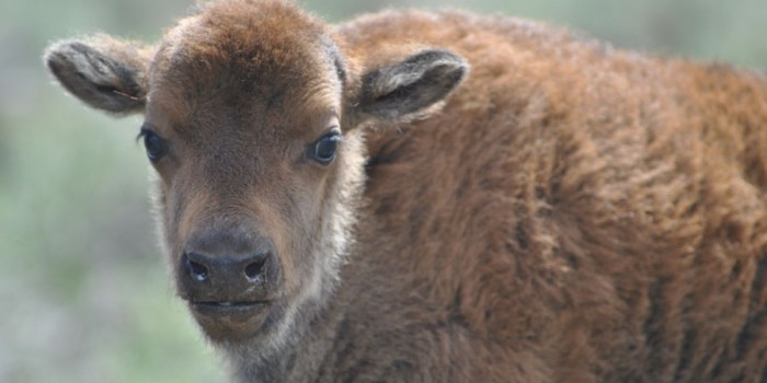 Buffalo Field Campaign Raises Concerns about Management of Yellowstone's Bison Herd