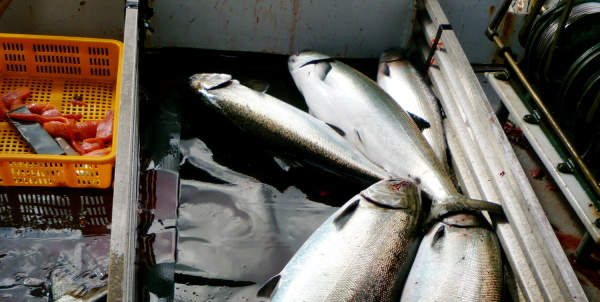 Community Supported Fishery: Connecting Colorado and Alaska