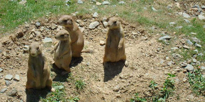 Longmont Prairie Dog Colony Could Relocate to Rocky Flats