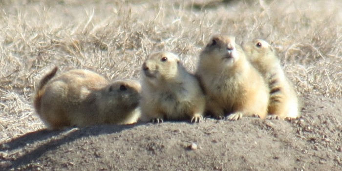 Efforts to save prairie dogs in Castle Rock