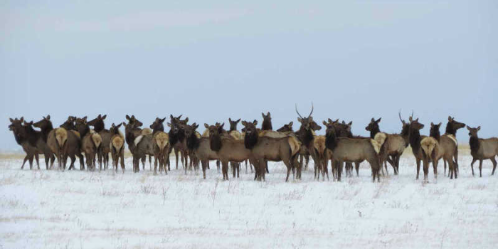 March Nature Almanac: Wild Elk in Boulder County