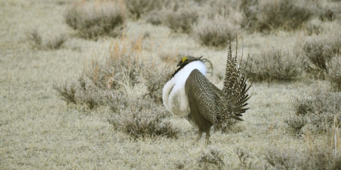 Feds Unveil Sage-Grouse Protection Proposal