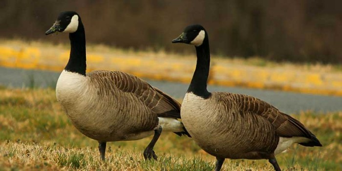 May Nature Almanac: Nesting Geese in St. Vrain State Park
