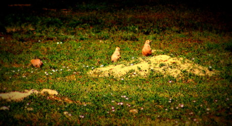 Naropa University Prairie Dog Colony at Risk of Lethal Control