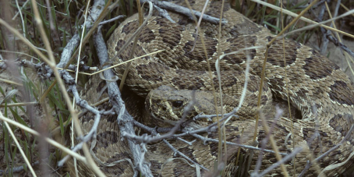 October Nature Almanac: Rattlesnakes