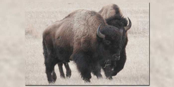 Commentary: Save the Wild Buffalo