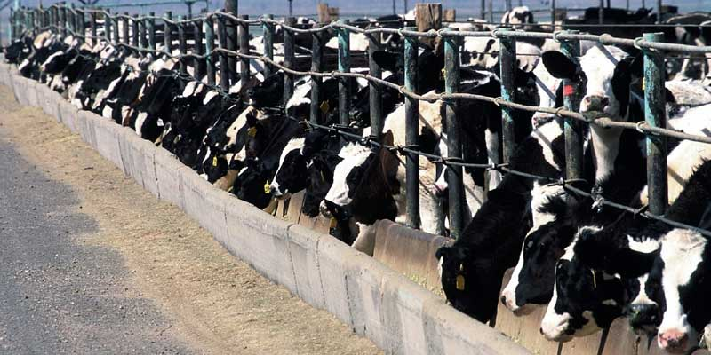 Citizens fight antibiotics in livestock