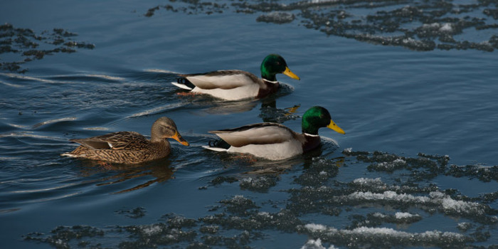 Friday Nature Almanac for December – Bountiful Winter Ducks