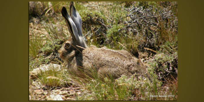 January Nature Almanac: Boulder County Jackrabbits in Jeopardy