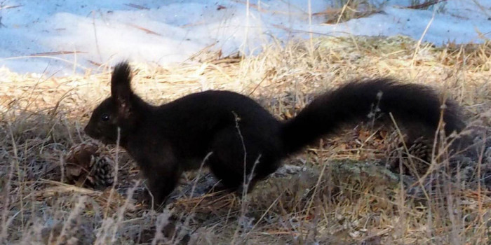 March Nature Almanac: Tassel Eared Abert's Squirrels at Betasso Reservoir