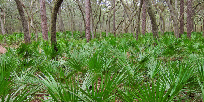 Naturally: Saw Palmetto