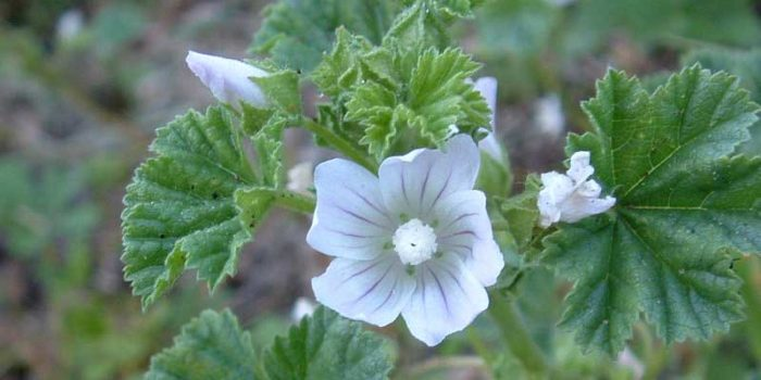 Naturally: Malva Neglecta