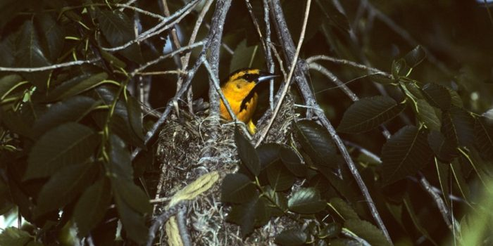 June Nature Almanac: Neotropical Birds