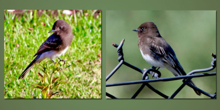 July Nature Almanac: Nesting Phoebes