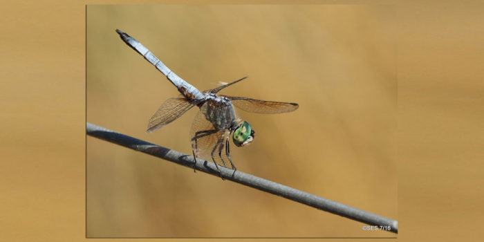 August Nature Almanac: Dragonflies of Boulder County