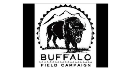 Buffalo Field Campaign: Protecting the Last Wild Bison Herd