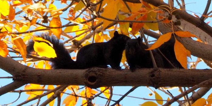 November Nature Almanac: Black Fox Squirrels