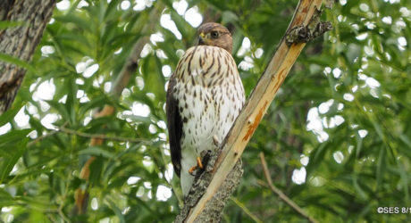 December Nature Almanac: Watching a Cooper's Hawk in Longmont