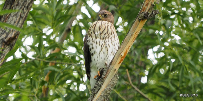 December Nature Almanac: Watching a Cooper's Hawk in Longmont