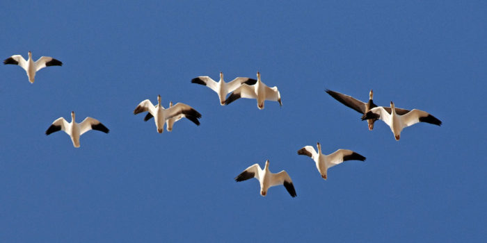 January Nature Almanac: A Snow Goose New Year at Dodd Reservoir