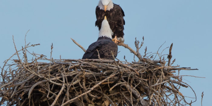 Bald eagle population rebounds in Colorado