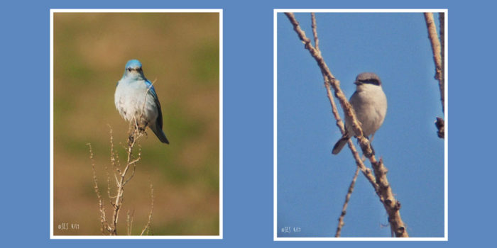 Nature Almanac: Birds at Boulder Reservoir Mudflats
