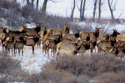 Elk Hunting Approved for Boulder County's Rabbit Mountain Open Space