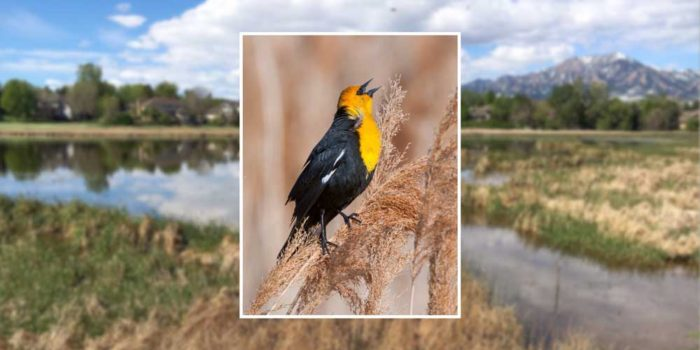 June Nature Almanac: Yellow-headed Blackbirds at Sombrero Marsh