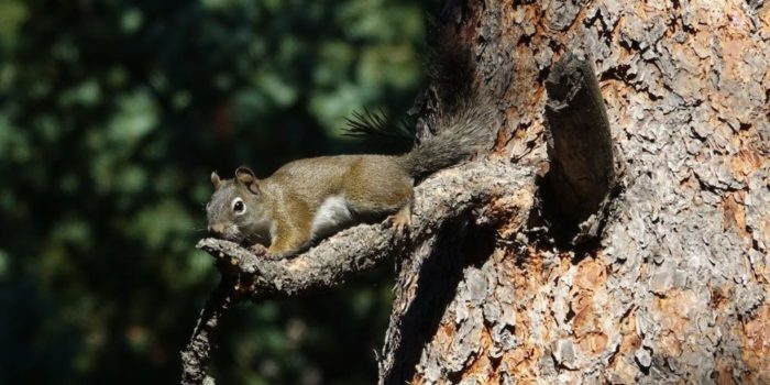 August Nature Almanac: Chickaree Squirrels