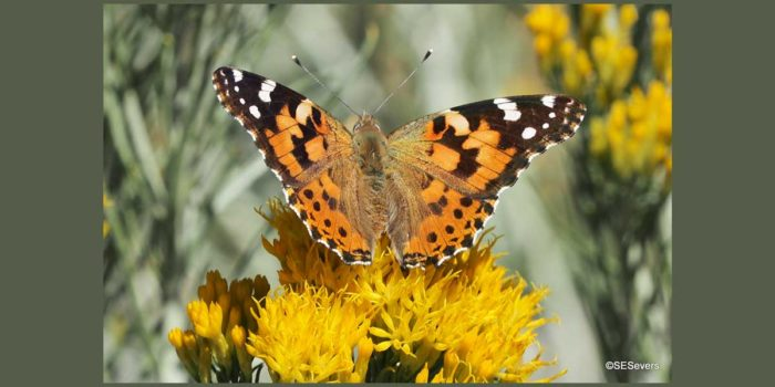 Nature Almanac: Painted Lady Butterflies