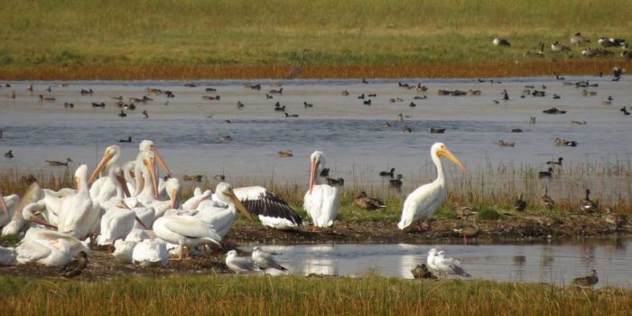 Nature Almanac: Big White Birds at Walden Ponds