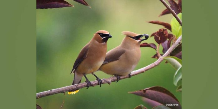 December Nature Almanac: Cedar Waxwings