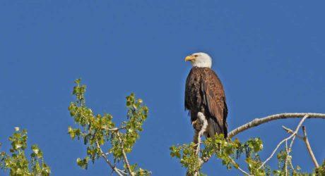 March Nature Almanac – Development Threatens Local Bald Eagle Nests