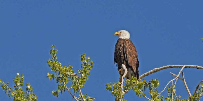 March Nature Almanac – Development Threatens Local Bald Eagle Nests