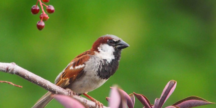 May Nature Almanac: Vanishing House Sparrows