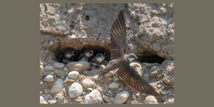 July Nature Almanac – A Colony of Bank Swallows