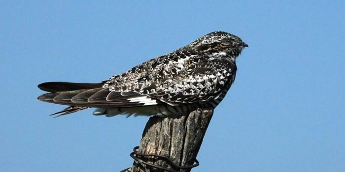 August Nature Almanac: Nighthawks in South Boulder