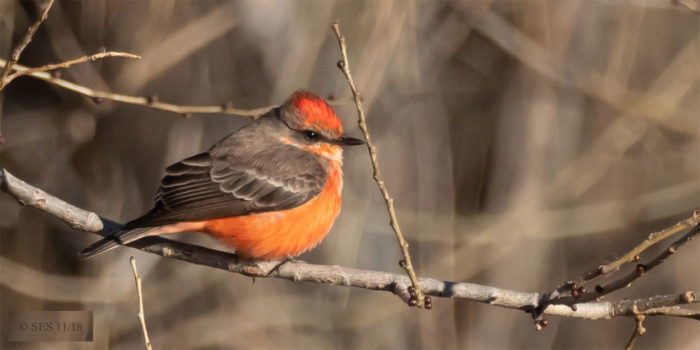 December Nature Almanac – A Vermilion Flycatcher stays the season